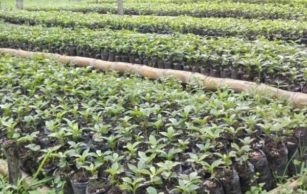 coffee-plants